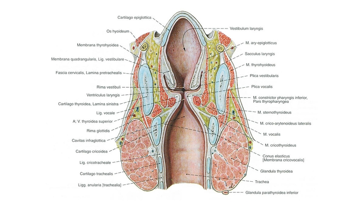 Halsorgane - Klinik-Impuls